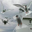 Tern Attack by Tarrby