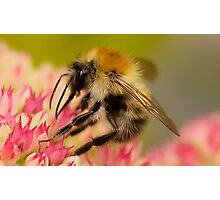 Hey Mr Bumble Photographic Print