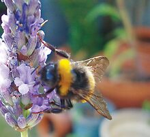 Bumble Bee on Purple Lavender by twoforapound