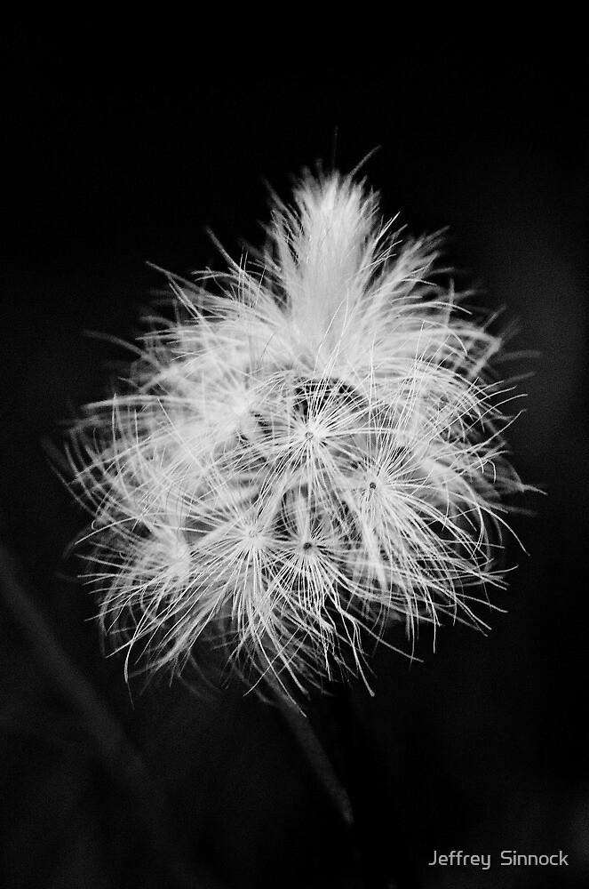 Dandelion #2 by Jeffrey  Sinnock