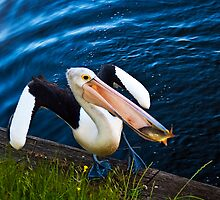 Pelican Waddle by Jason Charlton