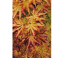 Acer,in all its glory.  Photographic Print