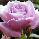 Lilac Rose by ElsT