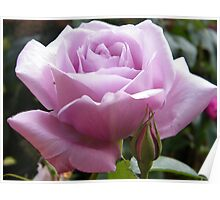 Lilac Rose Poster