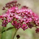 Japanese Spiraea by marens