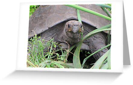 Tortoise by Veronica Schultz