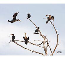 Cormorant Roost Photographic Print