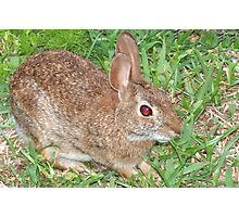 Cottontail close-up-Dedicated to BlueMoonRose Photographic Print