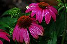 Purple Coneflower by Tori Snow