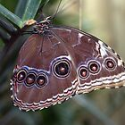 Closed Blue Morpho by Patrick England