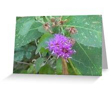 Mistflower, Blue Boneset, Wild Ageratum Greeting Card