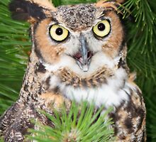 An animated Great Horned Owl by Robert Kelch, M.D.