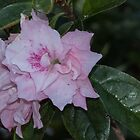 Pale pink flower Leith Park Victoria 201509240387   by Fred Mitchell