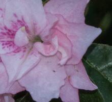 Pale pink Azalea flower Leith Park Victoria 20150924 0387   Sticker