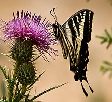Swallowtail sipping from a thistle by Celeste Mookherjee