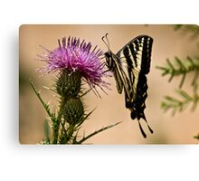 Swallowtail sipping from a thistle Canvas Print