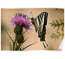 Swallowtail sipping from a thistle Poster