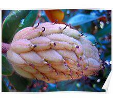 Magnolia Tree Pod  Poster