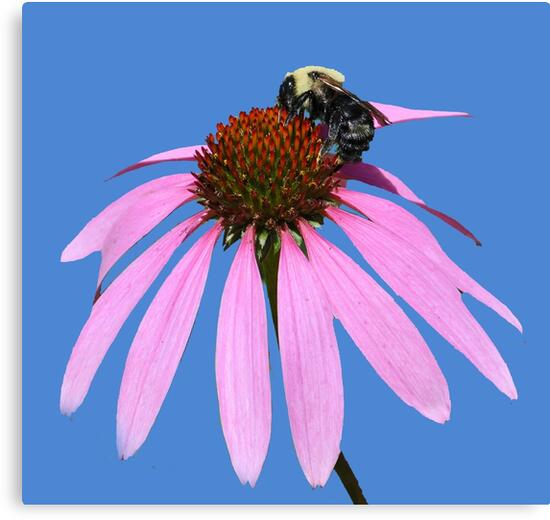 Busy Bee by Rodney Campbell