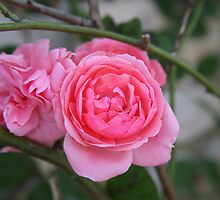 Climbing rose  by LynnEngland