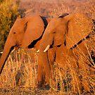Elephants at the Letaba River, Kruger National Park, South Africa by Erik Schlogl