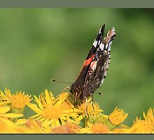 Red Admiral (3) by Rhona Anderson