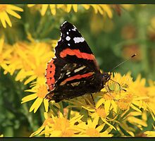 Red Admiral (2) by Rhona Anderson