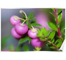 Common Snowberry  Poster