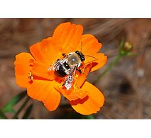 Bumblebee on bright orange flower Photographic Print