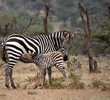 Suckling Zebra by Henry Jager