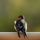 """Welcome Swallow"" by Heather Thorning"