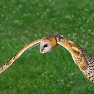 American Barn Owl by Daniel  Parent