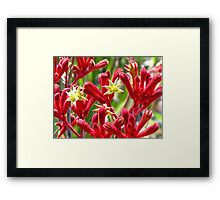 Red Kangaroo Paw Framed Print