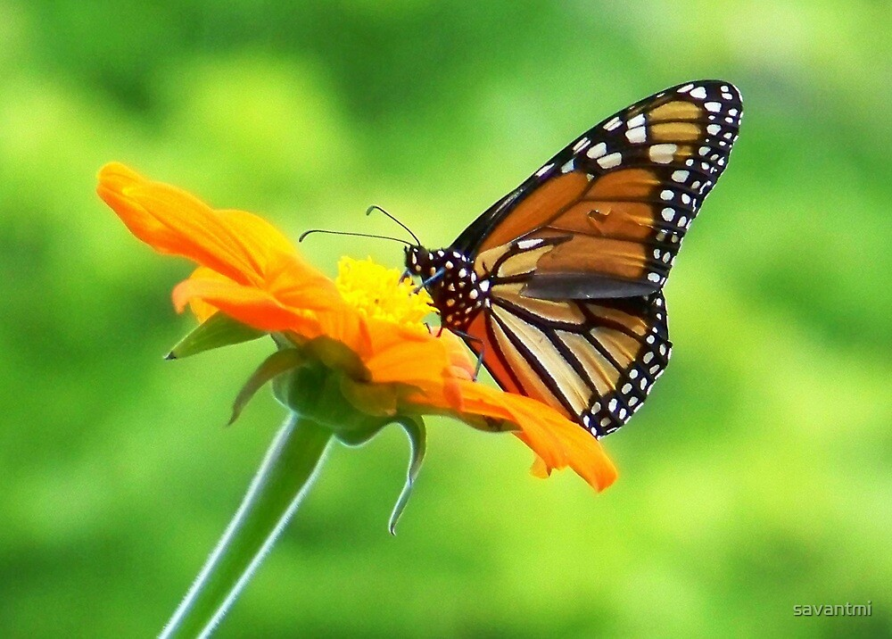 Monarch on Mexican Sunflower ~ Maryland by savantmi