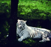 White Tiger Dreaming by edarlingphoto