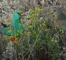 Mulga Parrots (Psephotus varius) Feeding - Point Lowly Peninsula, South Australia by Dan & Emma Monceaux