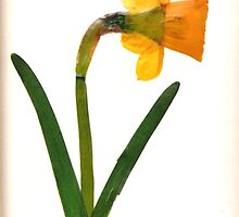 Pressed Daffodil 2. by CamelotScribe