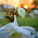 Sunset Lily - Etty Bay NQ by Giovanna Devlin