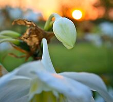 Sunset Lily - Etty Bay NQ by Giovanna Devlin