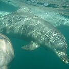 Common Bottlenose Dolphins (Tursiops truncatus) - Point Lowly Peninsula, South Australia by Dan & Emma Monceaux