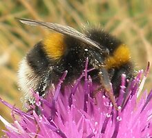 A Scottish Bumble Bee by ©The Creative  Minds