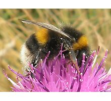 A Scottish Bumble Bee Photographic Print