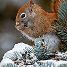 Christmas Card - Red Squirrel by Michael Cummings