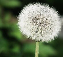 Dandelion by kflanary