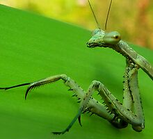 Praying Mantis Portrait.  by Toni Kane