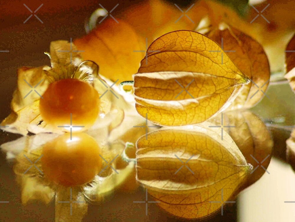 THE GOOSEBERRY - Physalis Solanaceae by Magriet Meintjes