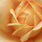 Roses in macro...