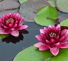 Water Lilies in Fuscia... by Carol Clifford