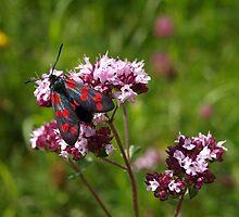 Black & Red (Six-spot Burnet). by Lee d'Entremont