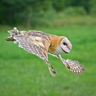 Barn Owl in Flight by Daniel  Parent